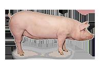 猪用饲料添加剂