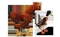禽用饲料添加剂