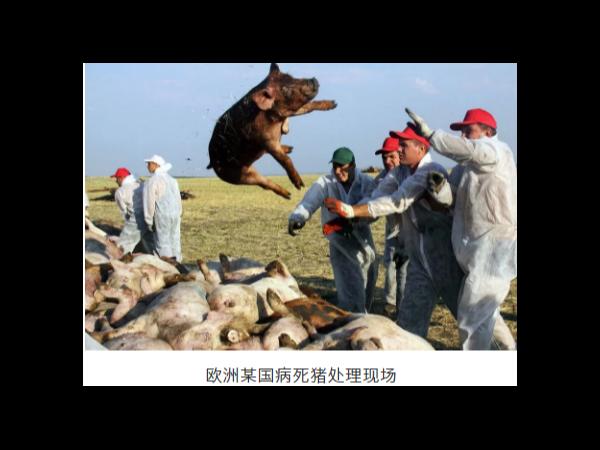 """新增近20国爆发""""非瘟""""疫情 !猪肉严缺,新一轮危机将至!"""