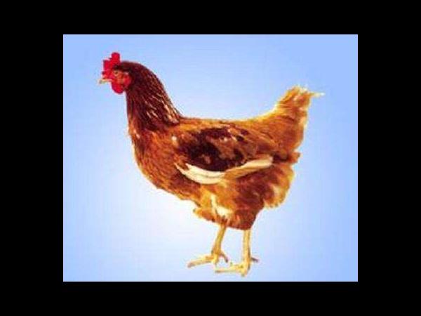 微生态制剂—低聚木糖对蛋鸡的影响