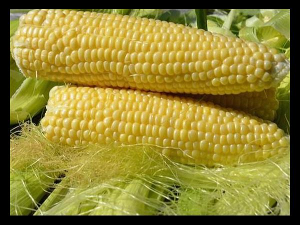 新玉米对蛋鸡会产生怎样的影响?