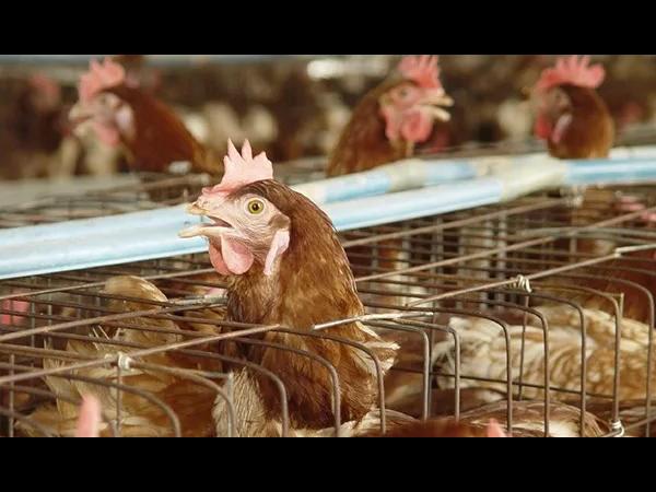 如何识别畜禽养殖的夏季杀手—热应激!