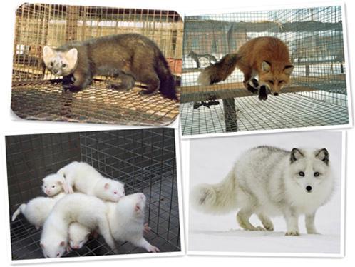 怎样养好狐貉貂皮毛动物?中农牧扬告诉您