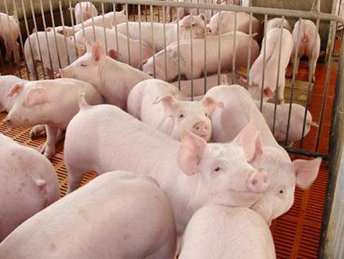 中农牧扬认为养猪户需重视冬季呼吸道