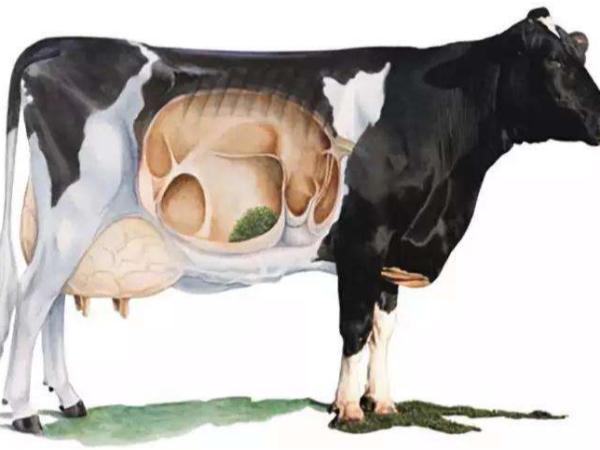 健康的奶牛瘤胃环境是怎样炼成的?