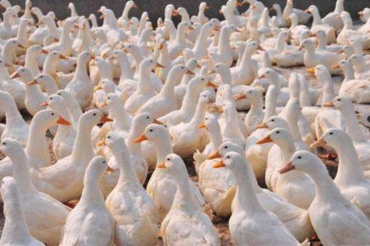 夏天鸭群发生水便怎么办?