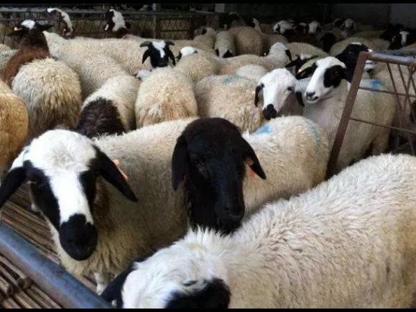 养羊6种常见饲料的正确喂法!