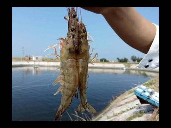 加利百灵Z有效吸附副溶血弧菌毒素,控制EMS,提高白对虾的存活率!