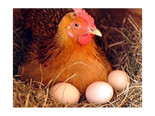 蛋鸡迟迟不高产、产蛋率低下怎么办?