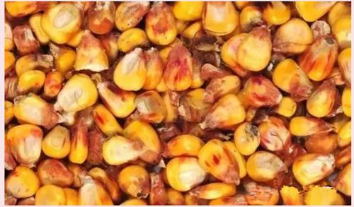 玉米霉菌毒素
