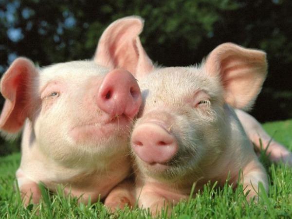大北农:2021年养猪目标1000万头,新年伊始靠转基因玉米收获六连涨!
